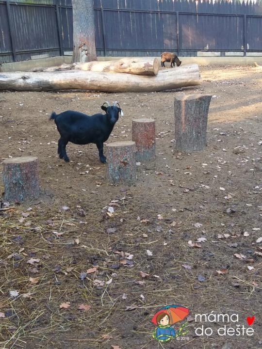 ZOO v Chuchelském háji: Kozy